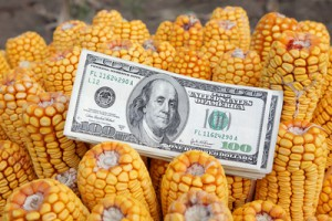 Agricultural concept, closeup of dollar banknote at corn