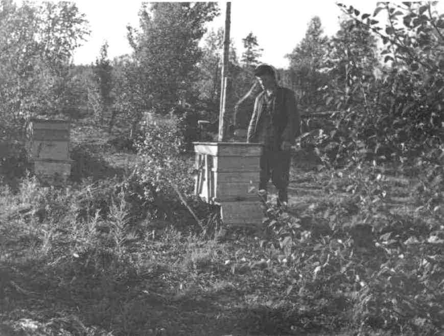 Рис. 14. Пчелы с ульями в совхозе «Индустрия», Кольский п-ов,1946-1947 гг.