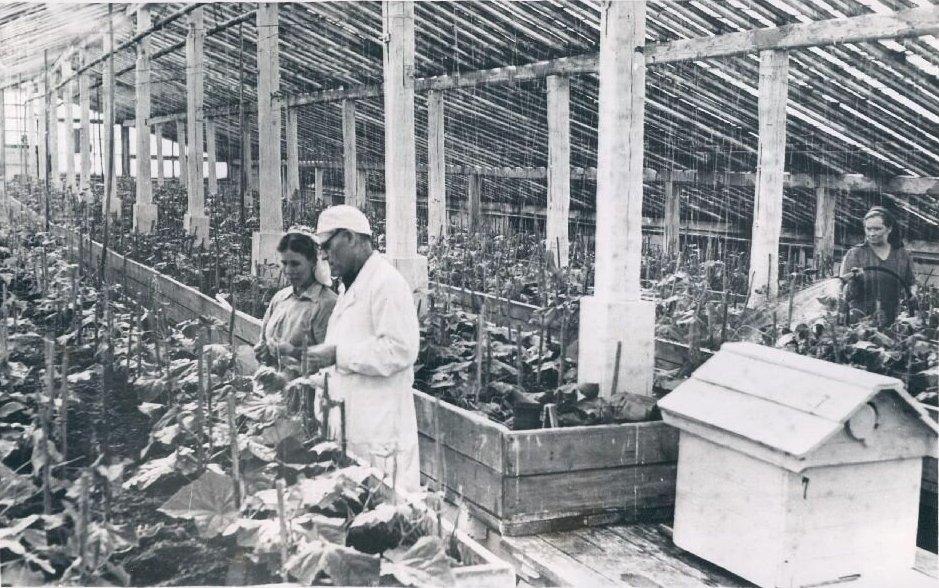 Рис. 15. Воркута, совхоз «Тепличный», 1958 г.