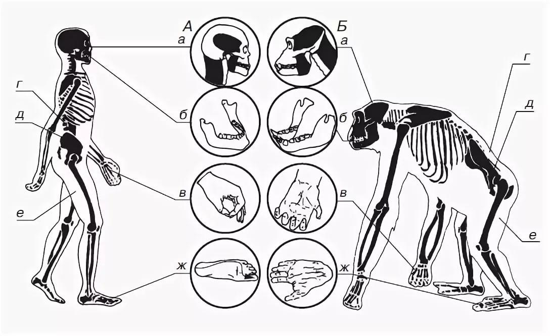 человек и обезьяна сравнение